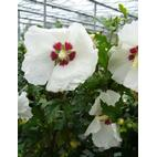 Hibiscus syriacus 'Red Heart' 30-40cm