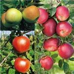 Fruits & Berries Apple Tree 110cm