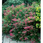 Hedge Plants Spiraea Anthony Waterer 20-40cm 10 pack