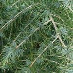 Coniferous Plants Cedrus Deodara