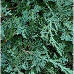 Hedge Plants Juniperus Horizontalis