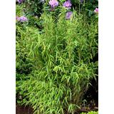 Yellow Bamboo 'Simba' 100-200cm