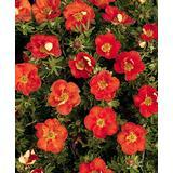 Trees & Shrubs Potentilla Fruticosa 'Red Ace' - Bush