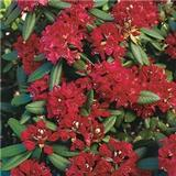Rhododendron Nova Zembla 30-40cm
