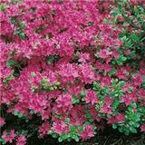 Azalea Kermesina Red 20-25cm