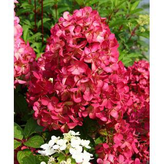 Hydrangea 'Diamant Rouge'