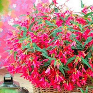 Suttons Begonia Plant - Crackling Fire Pink 10-20cm