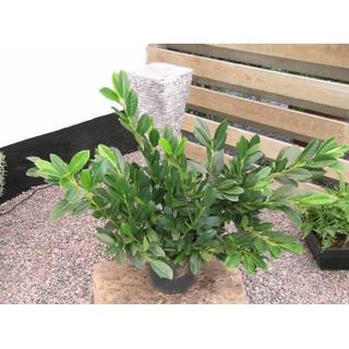 Prunus Laurocerasus 'Van Ness' 30-60cm