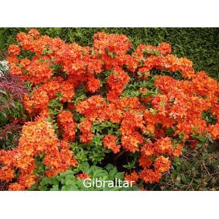 Rhododendron Azalea Hybrid Gibraltar 30-50cm