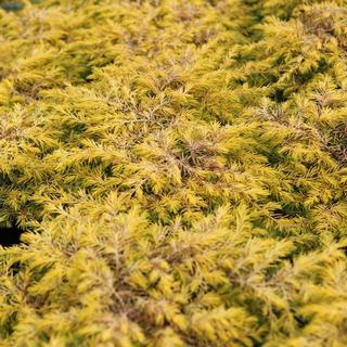 Juniperus Conferta 31-40cm