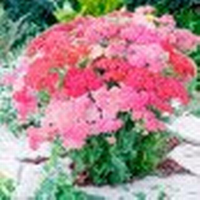 Suttons Achillea Plants - Millefolium Summer Pastels 51-60cm